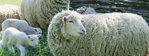 sheep3_8ap1